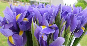 irisi, cvijeće