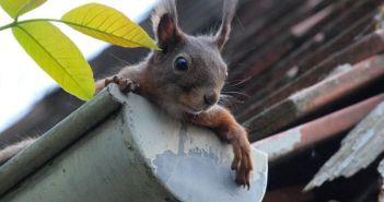 oluk, vjeverica